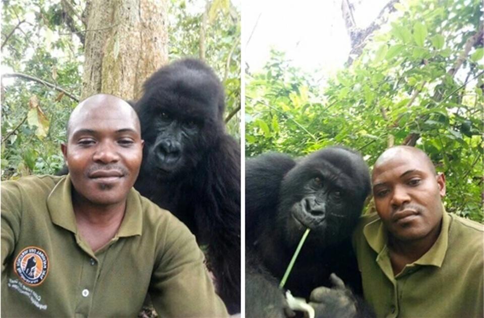 原创 刚果护林人和山地大猩猩的自拍,感动无数网友