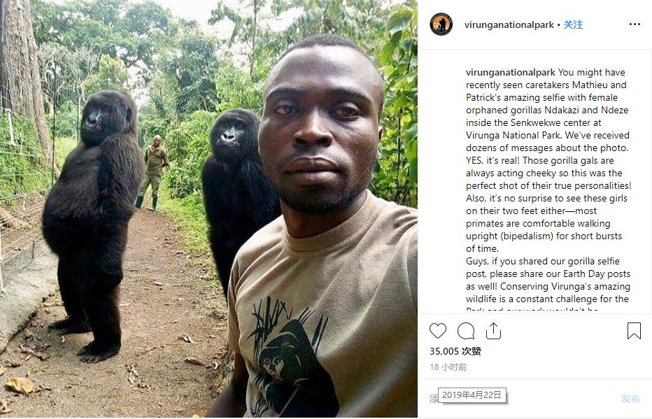 刚果大猩猩成精:对着公园管*理员的自拍镜头摆pose_维龙加 萌宠趣闻 第3张