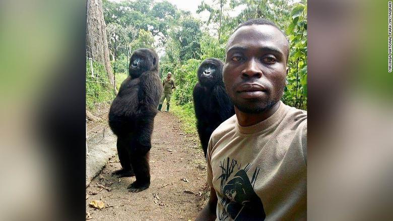 刚果大猩猩成精:对着公园管*理员的自拍镜头摆pose_维龙加 萌宠趣闻 第1张