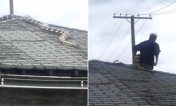 美5米长宠物蟒被困屋顶上班主人赶回家营救