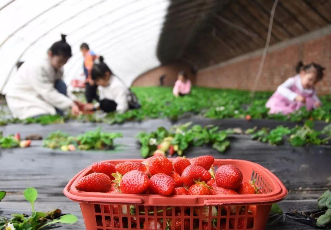 可订购可采摘,乌鲁木齐最大的草莓基地了解一下,20多种草莓任你采~