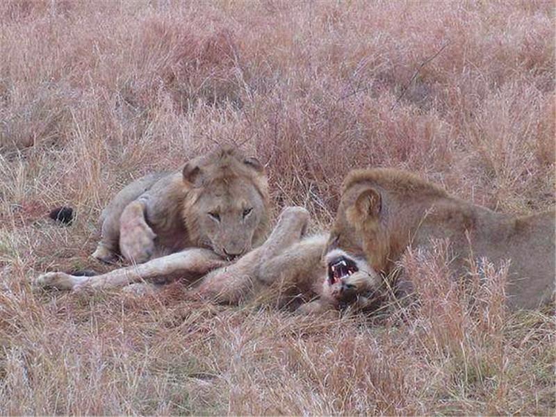 两只雄狮出来觅食,轻松捕食猎物!看见猎物真面目人们傻了