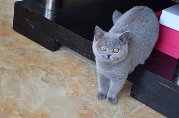 加菲猫什么颜色最便宜图片