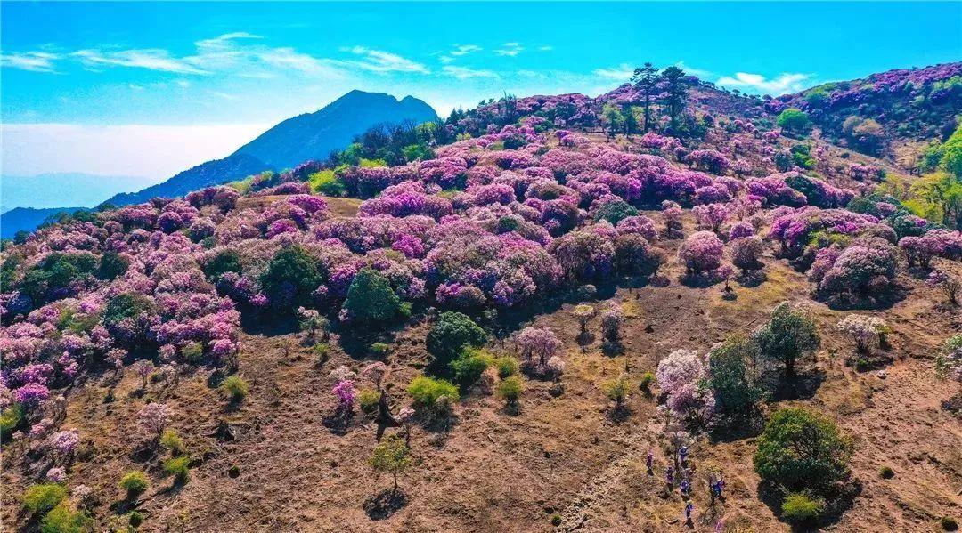 藏在攀枝花的绝美之地!一起探秘中国最大的野生杜鹃花海