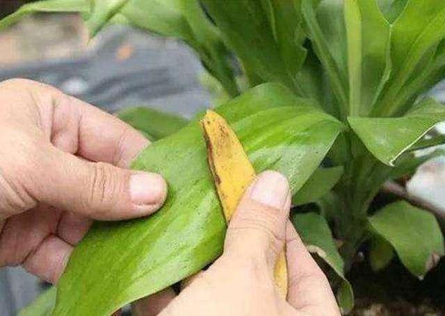 """花卉喜欢吃""""香蕉皮"""",简单几步,自制养花肥,啥花都能蹭蹭长!"""