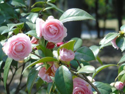 品种多价值高,当茶花养成盆景,花的韵味可就不一样了!