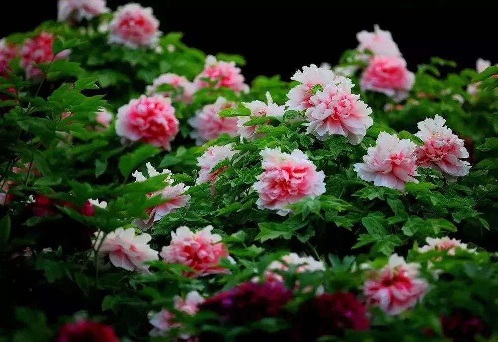 处于花期的牡丹园,洛阳牡丹最新花情