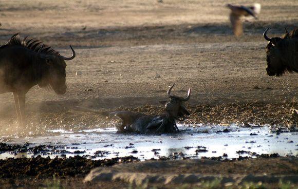 鬣狗今日又捡到便宜,可怜的角马身陷泥潭被鬣狗捕猎