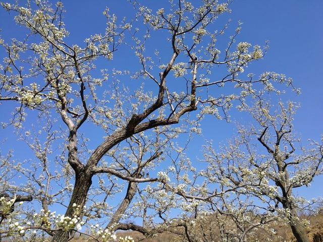 <b>春光无限好,藏在大山深处的世外梨园,位于北京房山</b>