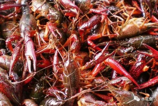 小龙虾精养高产技术_龙虾高产养殖的妙招_怎样喂龙虾可以达到高产