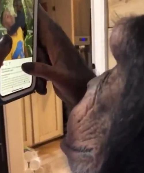 黑猩猩手机浏览乐享牛牛棋牌,开元棋牌游戏,棋牌现金手机版视频照片 拍摄者笑称人类末日