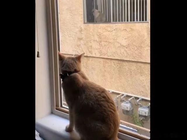 猫咪隔窗看对眼,主人为成全它们安排相见,欢乐多多