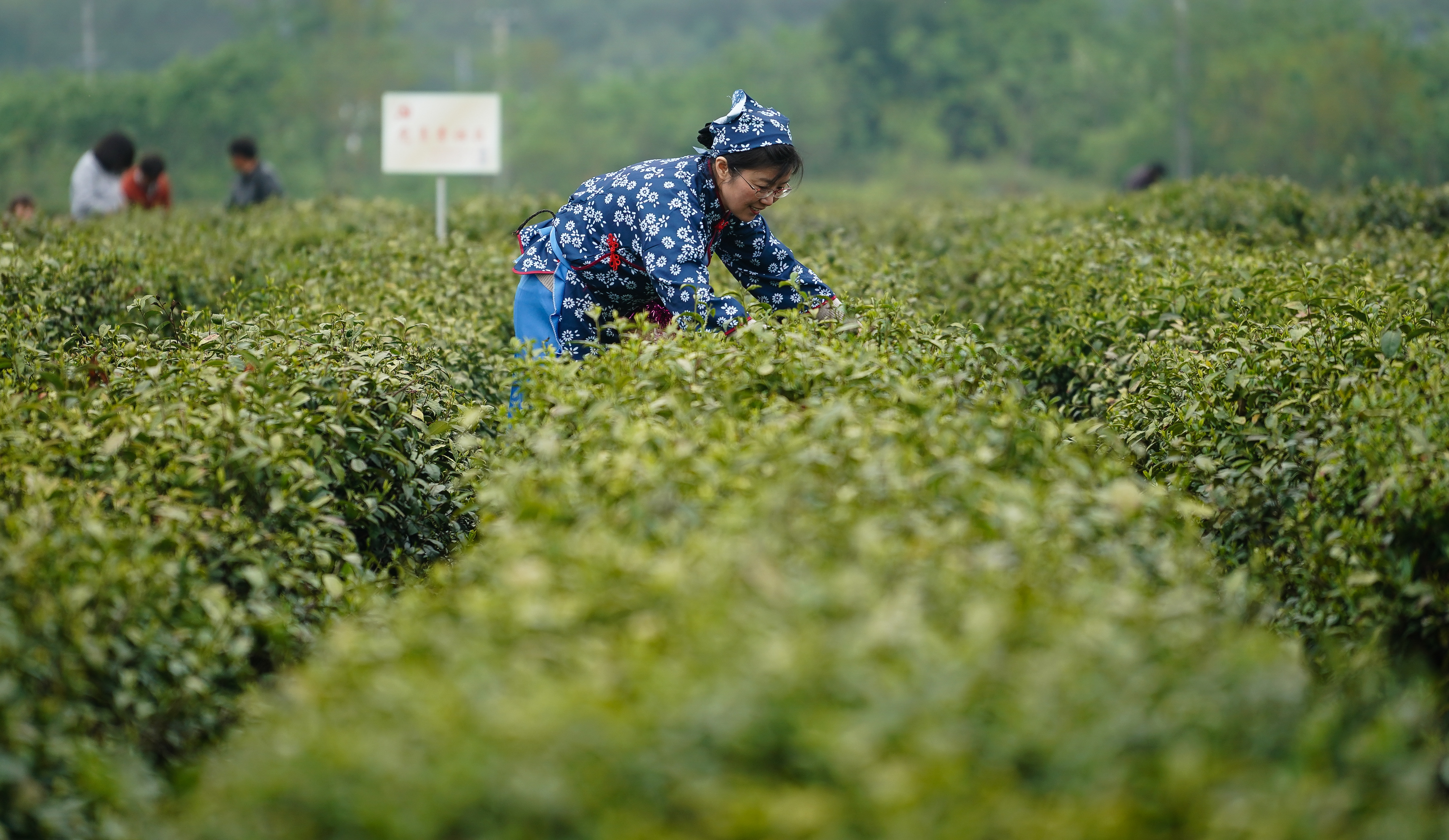 茶园重施有机肥的重要性