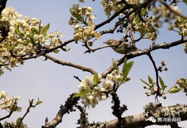挥不去的翠袖 赏不尽的梨花:遇见腾冲大竹坝的野趣