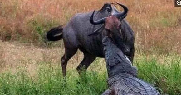 角马被鳄鱼袭击命悬一线,河马路见不平一声吼,该出手时就出手