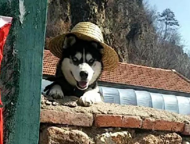 网友遇见只带着草帽的哈士奇,确定这是看家,而不是招揽客人的?