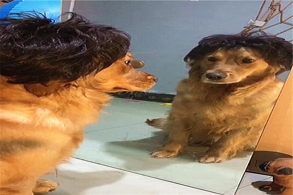 普贝斯:不要轻易给金毛换发型,不然它会抑郁的