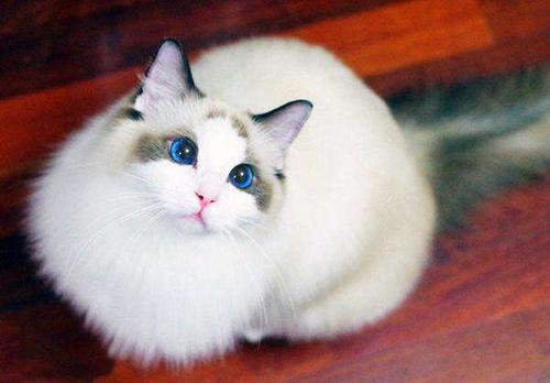 宠物猫热泪盈眶是被感动?布偶猫流泪怎么办