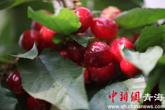 <b>青海乐都清泉樱桃正当红</b>