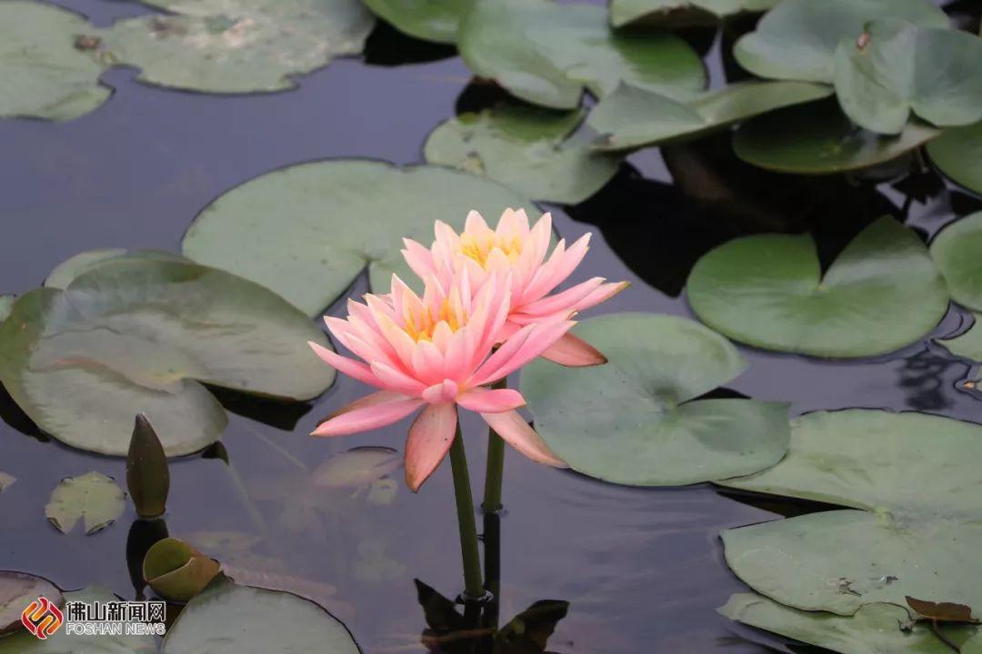 """火红炮仗竹   最佳赏花点:   五彩梯田   盛放的炮仗竹如一串串鞭炮,   最佳赏花点:   露天泳场附近   露天泳场旁的一方水池内,""""花中睡美人""""——睡莲漂浮在清澈的水面上,金黄色花蕊与碧绿莲叶片相映成趣,宛如一幅斑斓的水墨画.图片"""