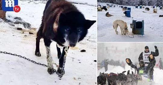 揭露雪橇比赛恶行!狗狗落队被拖行百尺主人:让它知道减速的教训