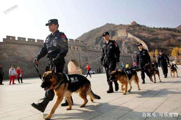 不能成为警犬的狗,二哈光荣上榜,原因:容易与犯罪分子达成共识
