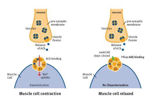 排钾利尿剂的作用原理_果味钾元素功效与作用