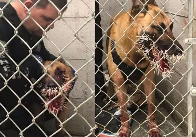 警犬出任务追犯人,却意外遭豪猪攻击,身中数百刺!
