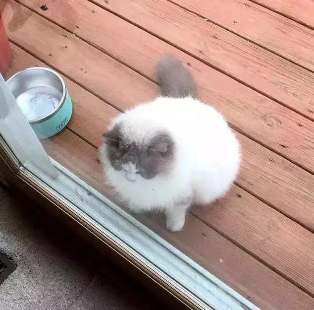 主人搬家,丢弃养了3年的布偶猫,猫咪挨家讨吃,遇见她才停止流浪