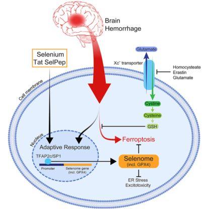 Cell | 中风治疗新篇章-抑制细胞铁死亡