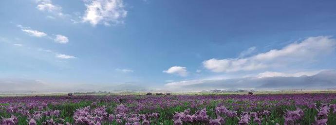 60万年的枯荣沉淀 让这片紫色鸢尾花海变成最美好的遇见