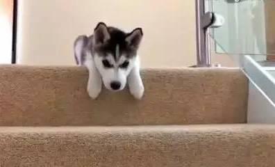 主人每天都训练狗狗爬楼梯,一个月后竟然...