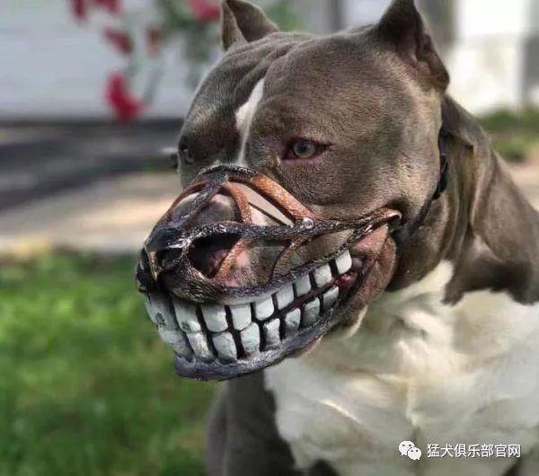 4.美国恶霸犬图片