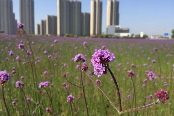 城区规模最大!宁波这片闲置荒地变身65亩梦幻花海,关键还免费...