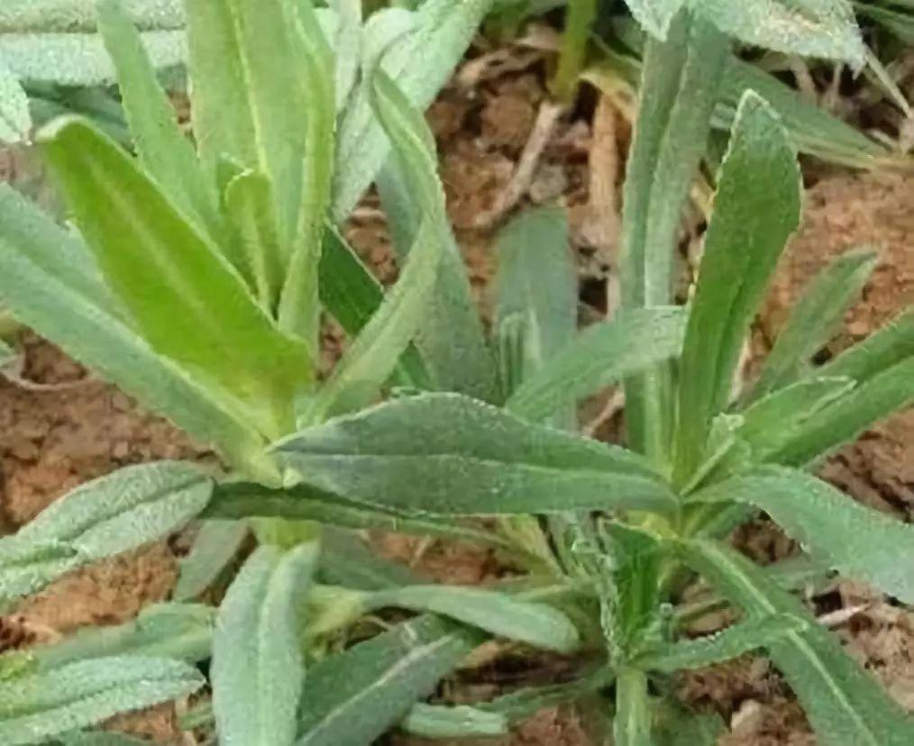 天然的 止咳王 找到了,此野草泡水喝,止咳化痰,春天不咳嗽