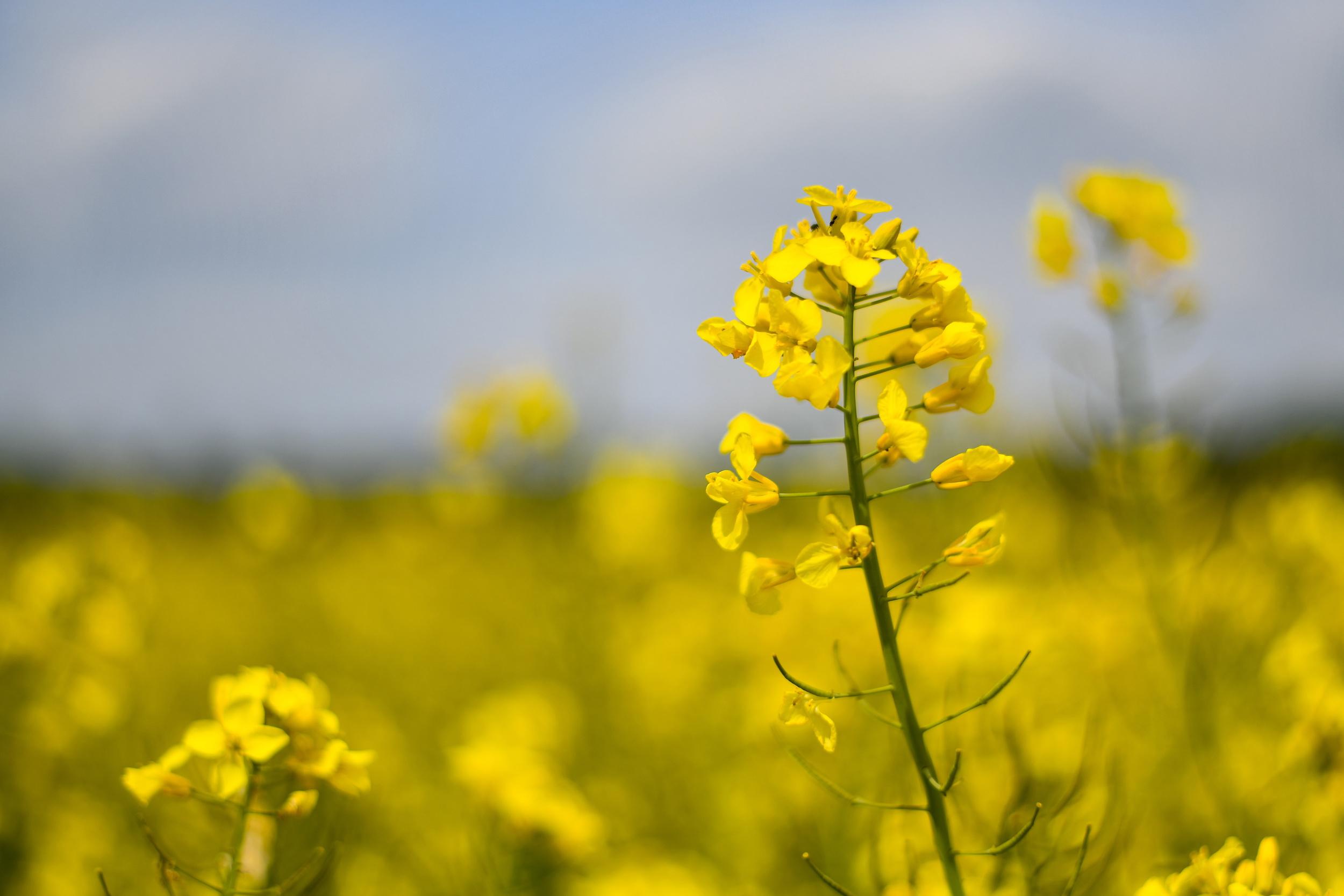 这是5月7日在德国慕尼黑附近拍摄的油菜花田.