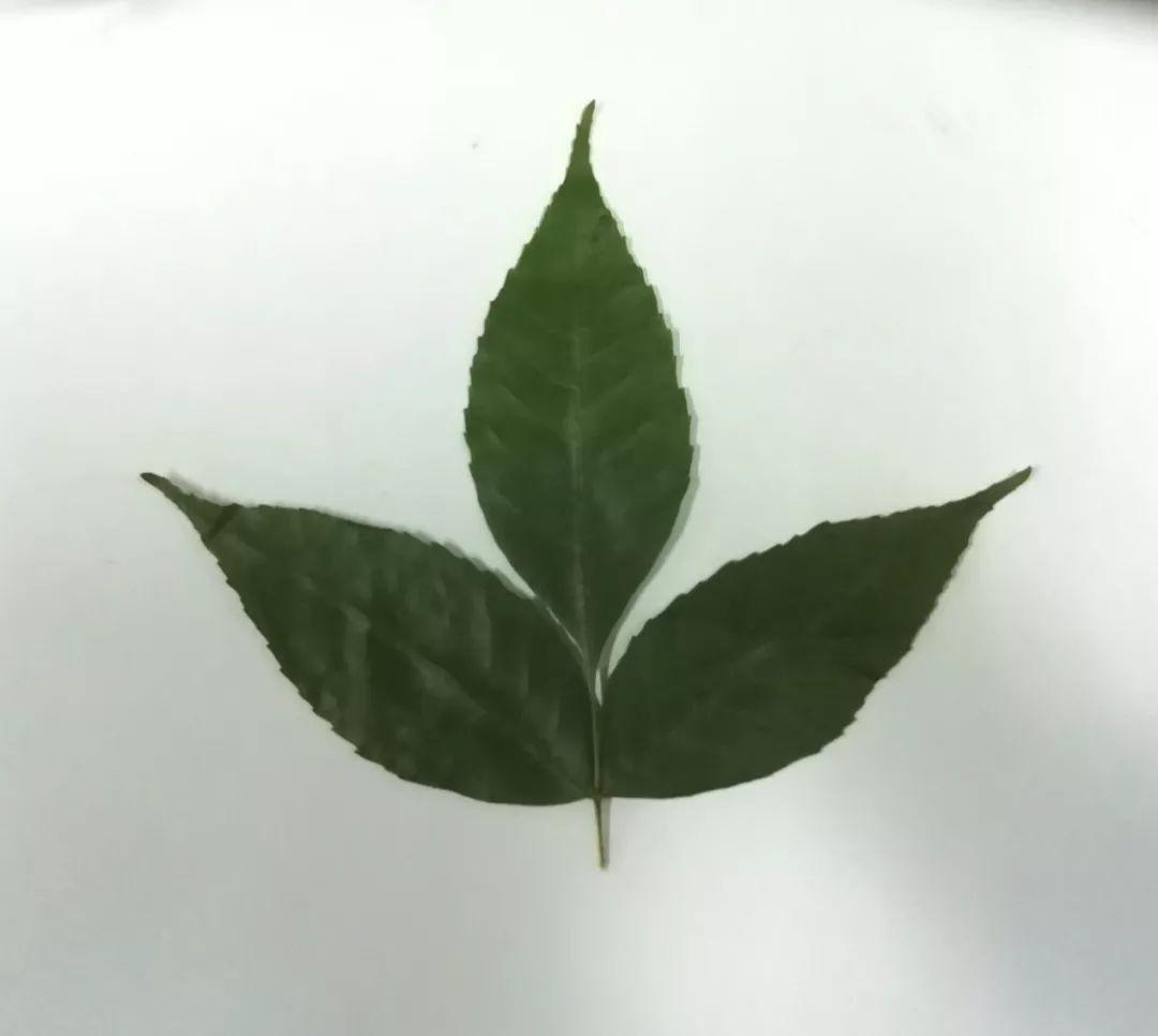 一起来做树叶标本吧!