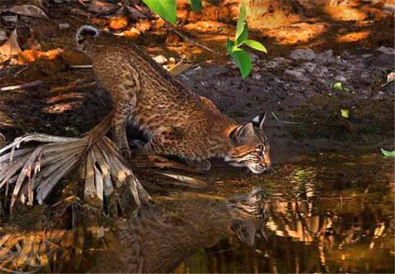<b>猞猁死死地盯着水中的蠕动的东西,还没看清却瞬间要了命!</b>