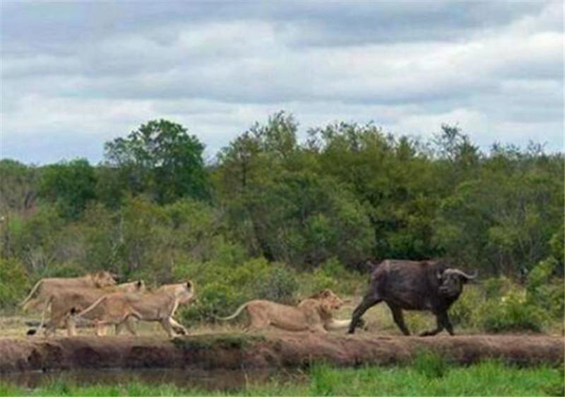 落单水牛看到虱子之后边扭头边走,转身的时间就变成鬼了!