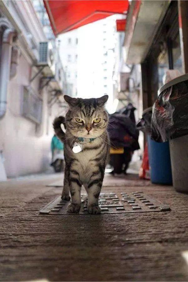 主人拍下猫在街头的霸气写真照,网友:竟然被一只猫帅到了!