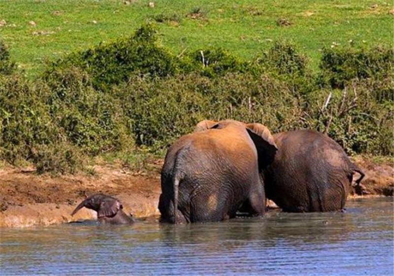 南非小象失足掉入水中母象离开,巡视员冒死将其救出时它又出现了