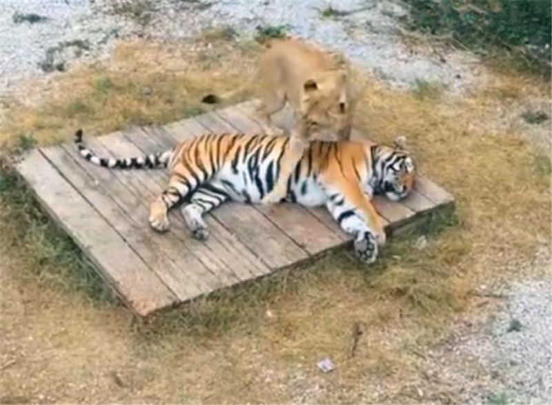 <b>母狮突然间跳到雄虎身上,雄虎不但没有发火,竟然还卖萌!</b>