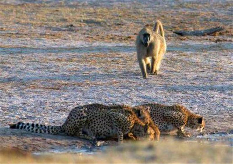 猎豹正在喝水,突然一回头看到狒狒瞬间就跑,到底发生什么了!