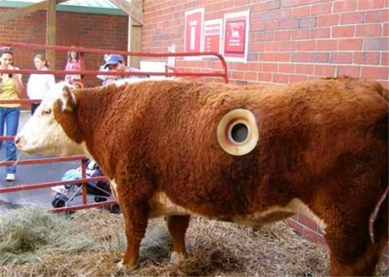 牛的身上被穿洞,还以为是受到虐待,知道真相之后才觉得高逼格!