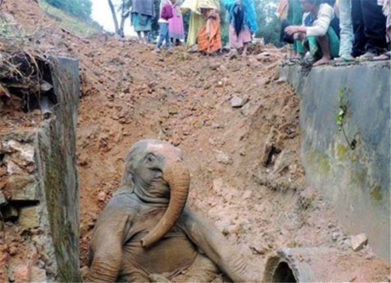 <b>吃货小象掉入壕沟里痛苦挣扎,被救助时的姿势瞬间让人哭笑不得!</b>