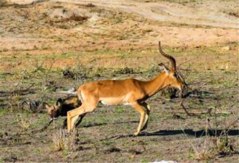 斑羚发现自己被野狗追随之后并没有很在意,但是最终却被活掏!