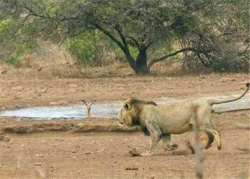 羚羊在水中泡澡听到异响抬头观察,不料瞬间将连命都搭了上去!