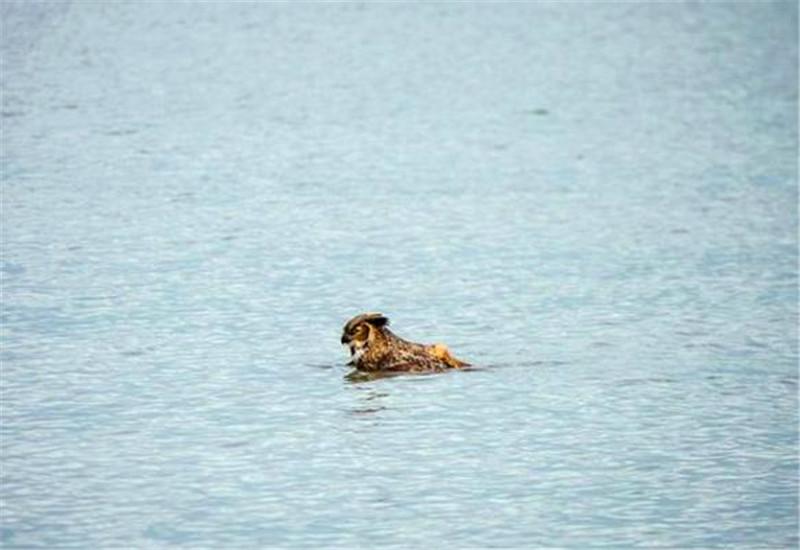 猫头鹰掉进水中之后还担心会淹死,不过最后竟然扑腾上岸了!