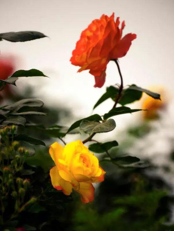趣说北京|为什么偏偏这两种花会当选北京市花?33年前的市花大PK