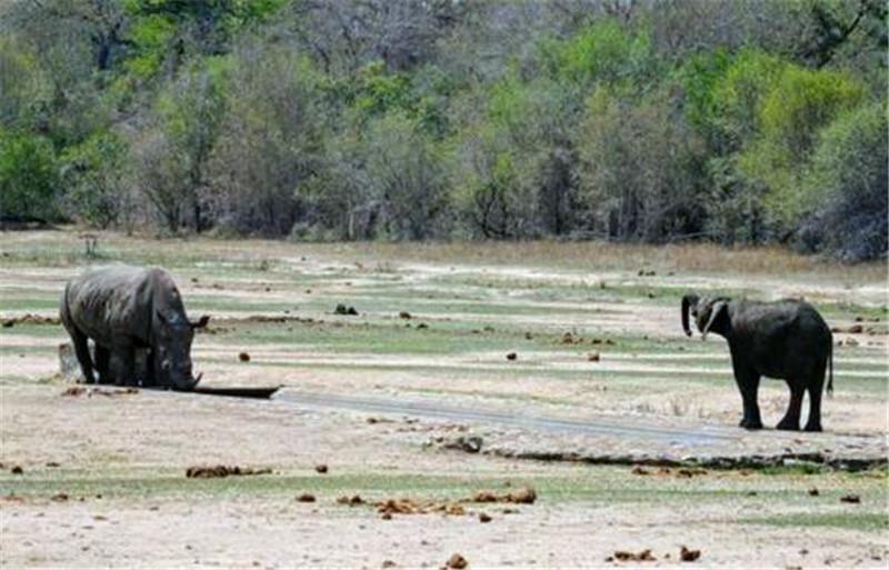 小象挑衅小犀牛,小犀牛刚要反攻的时候,小象竟然这样了!